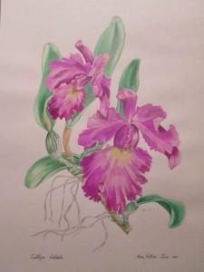 Gethan A Cattleya labiata